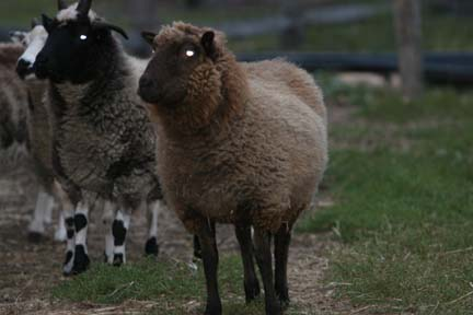Sheep at Holcomb Farm.